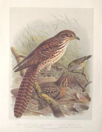 Long tailed cuckoo